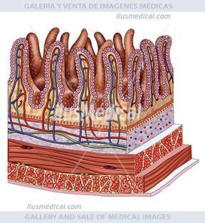 Vellosidad del intestino delgado. En esta podemos ver Ilustración un segmento de la pared intestinal. En ella podemos .....