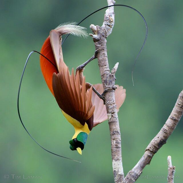 Photo by @TimLaman.  Red Bird-of-Paradise male in an inverted display pose that I filmed for Planet Earth 2.  If you are in the UK, don't miss the premiere of the Jungles episode of Planet Earth II THIS SUNDAY NIGHT  Nov 20!  You will see the sequence I helped shoot of the Red and Wilson's Birds-of-Paradise, including some never before seen unique filming angles on the displays. This is a still frame from a Red Digital Cinema camera capture. #ShotonRED, #REDEPIC, #RedBirdofParadise…