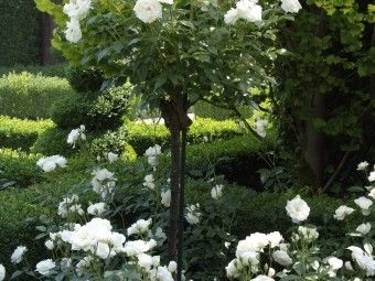 Rosa Schneewittchen (stamroos) - stam 60 cm hoog  Rosa 'Schneewittchen' (Cants, 1968)is een uitbundig bloeiende witte trosroos. Deze beroemde witbloeiende roos (zowel klimmend als niet klimmend te koop) heeft de meeste prijzen in de wacht gesleept van alle rozen. De kleur van Rosa 'Schneewittchen' is roomwit met soms een zweem roze. Rosa 'Schneewittchen' is een remonterende (herbloeiende) en een sterke klimroos. De geur is echter te verwaarlozen.