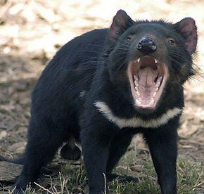 Le Diable de Tasmanie est caractérisé par sa fourrure noire, l'odeur forte qu'il dégage lorsqu'il est stressé, son hurlement fort et inquiétant et son tempérament agressif envers ses congénères quand il mange.