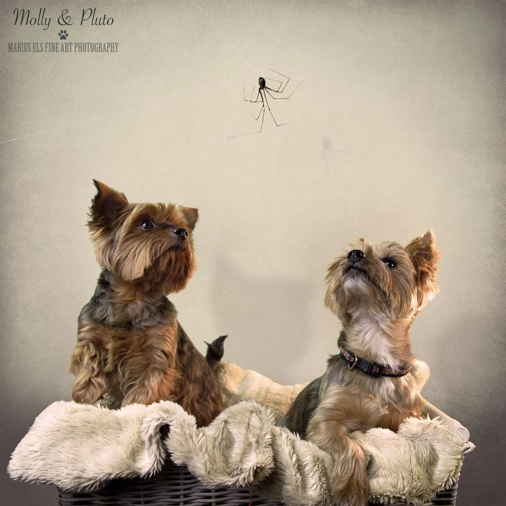 Doggie Delights 5, Calendar - something with a Halloween theme for October with Molly and Pluto - Yorkshire Terriers