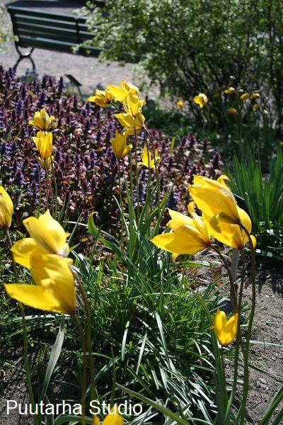 Kestävimmät tulppaanit... ja hanallinen orkidearuukku   Asuntomessut
