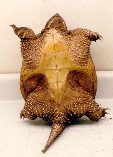 alligator snapping turtle underside