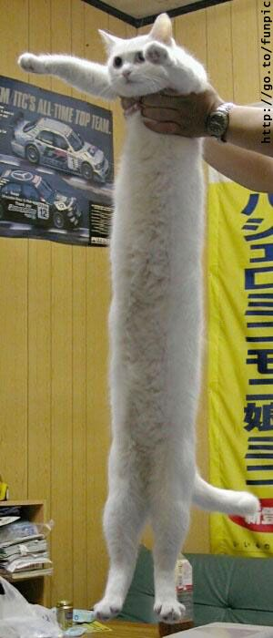 Guiness Book World Records for longest kitty in the world (Funny)  Is that for real?