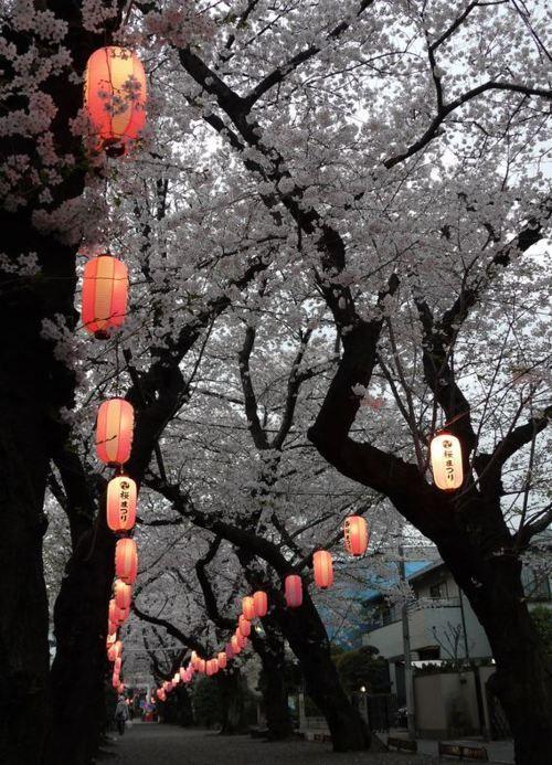 lanterns and sakura