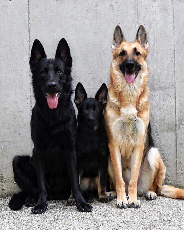 Pin By Brian On German Shepherds In 2020 Dogs German Shepherd