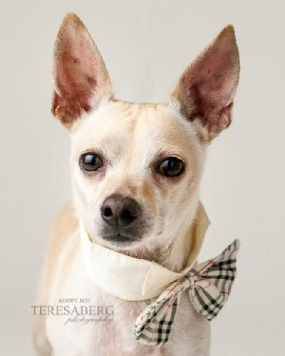ADOPTED!!! *Diamond Dog - $75 Adoption Fee*  Chihuahua & Terrier Mix • Adult • Male • Small  Collin County Humane Society McKinney, TX