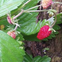 This is truly amazing! I found Wild Strawberry (fragute) seeds http://www.seed-bank.ca/wild-strawberry-seeds/#cid=9323