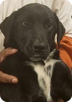 Rome, GA - Labrador Retriever Mix. Meet 3/5, a puppy for adoption. http://www.adoptapet.com/pet/17675805-rome-georgia-labrador-retriever-mix