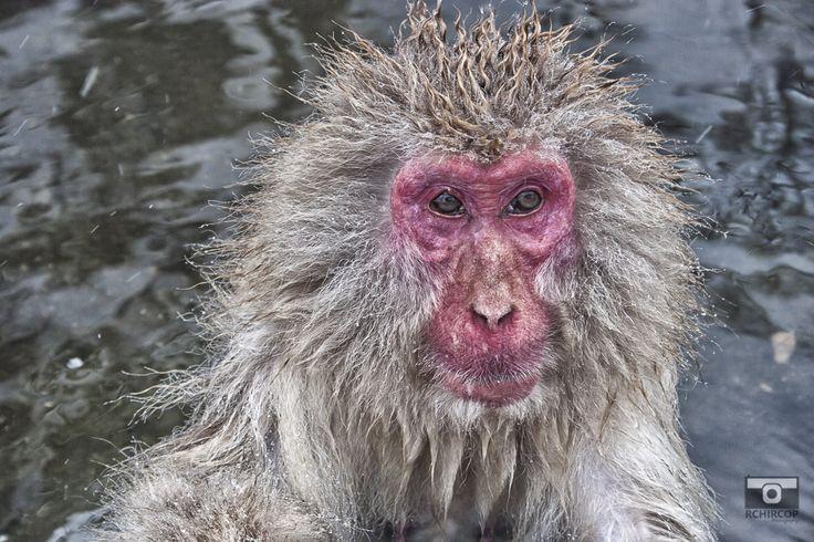The macaques of Jigokudani Japan Nara #Japan #Jigokudani #Nara #macaques #monkeys #onsen #nature #wildlife