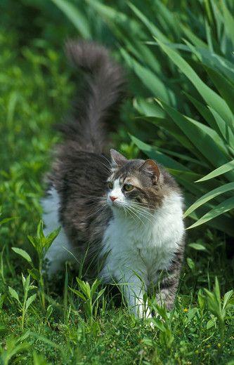 Kot angora turecka na podwórku