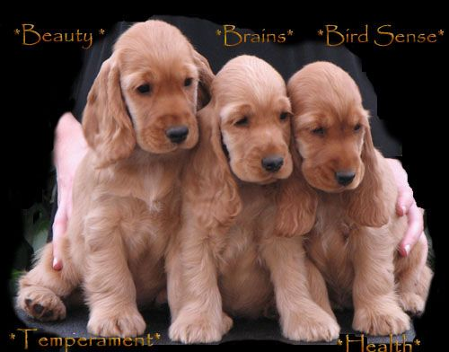 English Cocker Spaniel Puppies, Beauty, Brains, Bird Sense, Temperament, Health