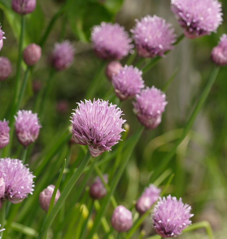 Plant Chive Seeds in containers or in the organic herb or vegetable garden. Chives produce edible flowers and lots of tasty chives for culinary herbs and cooking.