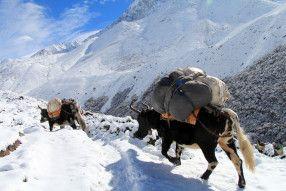 カウベルを心地よく響かせながら荷を運ぶヤク。ヒマラヤ山脈の見所!
