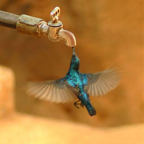 Very shiny metallic blue hummingbird drinking from a faucet.