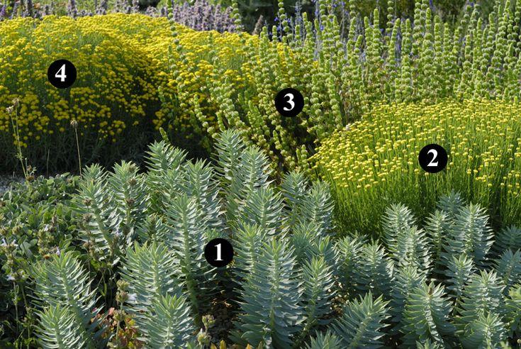1 : Euphorbia rigida  2 : Santolina lindavica  3 : Sideritis cypria  4 : Santolina neapolitana 'Edward Bowles'