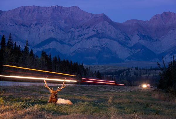 Vladimir Medvedev was driving through Canada's Jasper National Park when he spotted a red deer stag lying in the grass by the highway. The photographer pulled over and swiftly positioned his tripod and snapped this picture just as a truck thundered by.