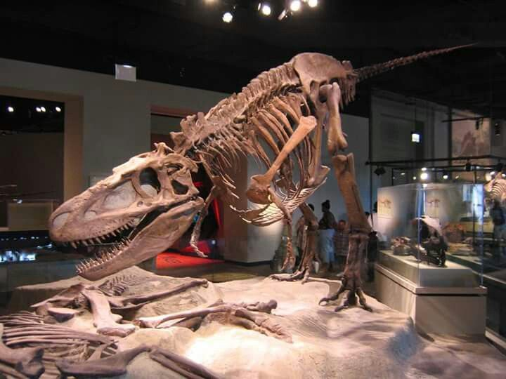 Daspletosaurus, Chicago Field Museum Daspletosaurus is a genus of tyrannosaurid theropod dinosaur that lived in western North America between 77 and 74 million years ago, during the Late Cretaceous Period. http://paleontologyworld.com/
