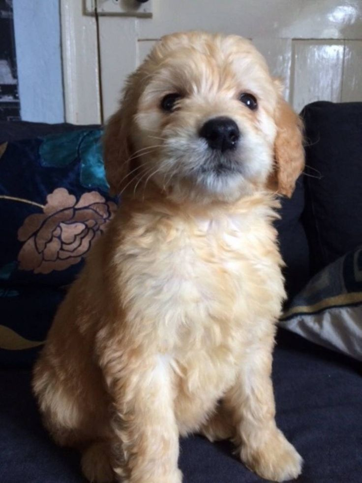 Goldendoodle puppy pedigree dog goldendoodle puppy puppies