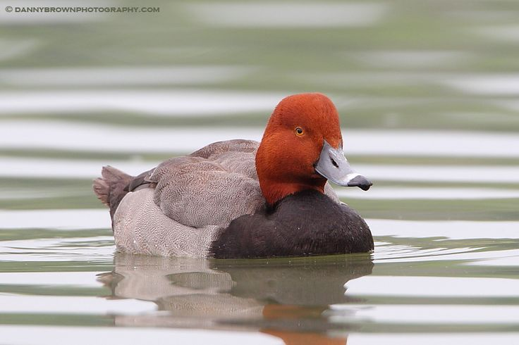 Travel-Weary Redhead - This redhead didn't want to continue north from Missouri so it settled in on a pond near our place
