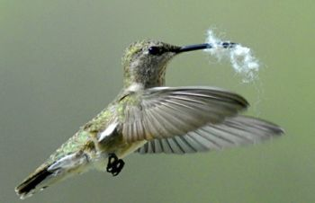 Female hummer with nesting material