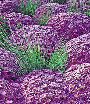 winterharte niedrige stauden | Kugelaster 'Violett' & Ziergras 'Azur…