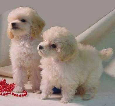 Tiny+Toy+Poodles+For+Sale.jpg 393×360 pixels