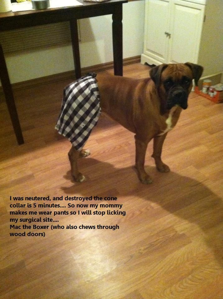 Bermuda Boxer-probably have to do this with Hobo. | Dog