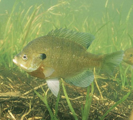What 39 s on my line can you identify this small panfish for Bluegill fish tank