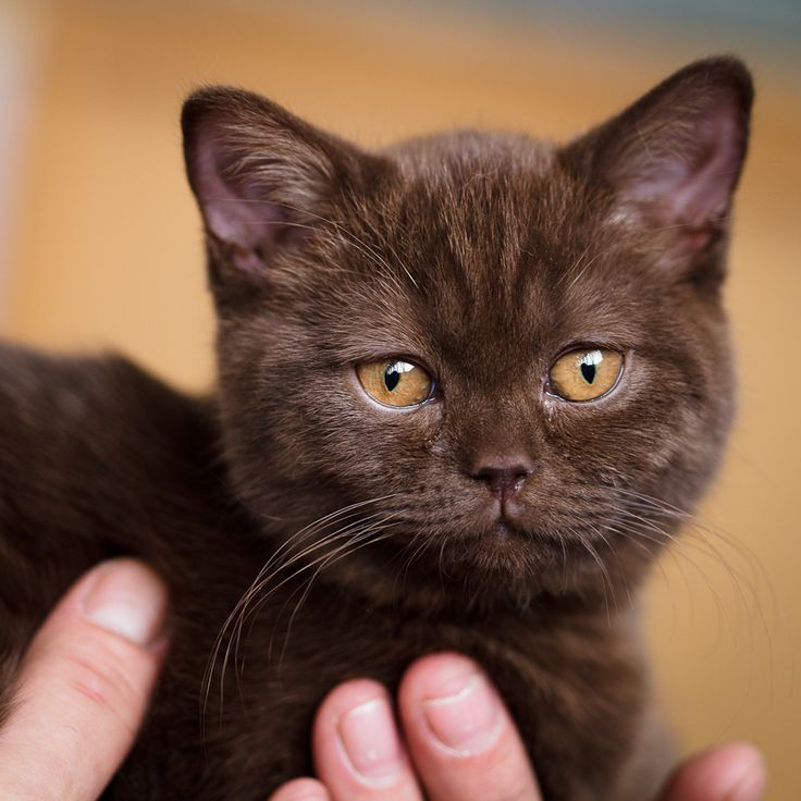 Pin by LineCorner on Pets Brown cat, Best cat breeds