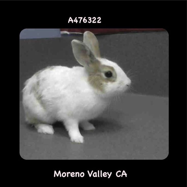 #A476322 Moreno Valley CA white and brown Shorthaired Rabbit. My age is unknown. I have been at the shelter since Jul 27 2017 and I may be available for adoption on Aug 03 2017 at 3:40PM.  http://ift.tt/2uLaZEa  Moreno Valley Animal Shelter at (951) 413-3790 Ask for information about animal ID number A476322  #Adoptdontshop #Adoptdontshopcalifornia #morenovalley #californiascats #catsofinstagram #savealifeadopt #savealifeadoptapet #southerncalifornia #spayandneuter #SoCalcats #adoptakitty