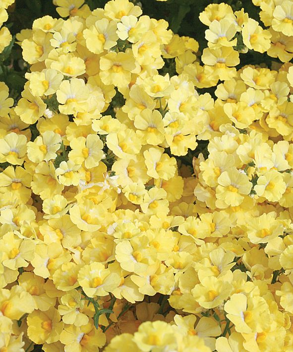 sunsatia lemon nemesia hybrid