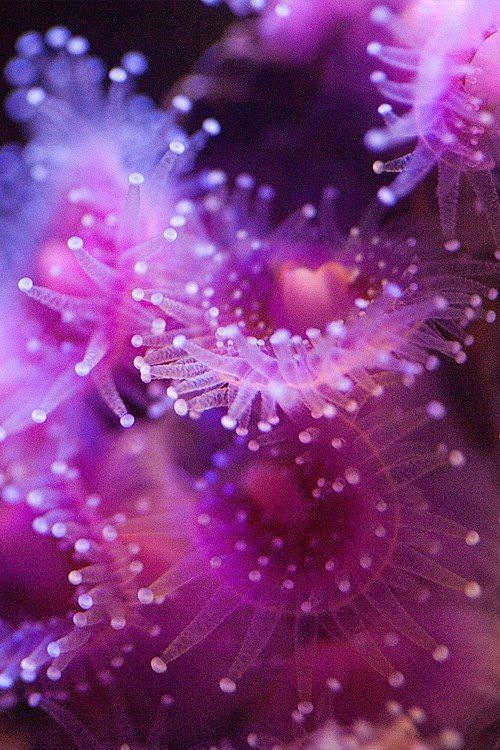 Sea Anemone #underwater #sealife