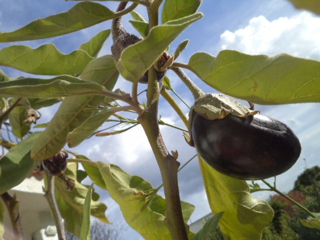 My winter aubergines, or eggplants or melenzane!_©Peggy Carajopoulou-Vavali
