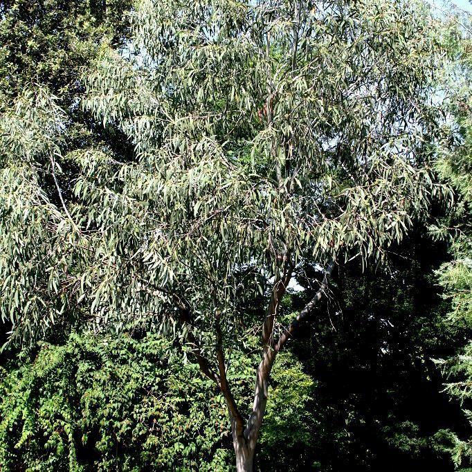 1000+ ideas about Eucalyptus Niphophila on Pinterest