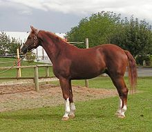 The Westphalian, or Westfalen, is a warmblood horse bred in the Westphalia region of western Germany. The Westphalian is closely affiliated with the state-owned stud farm of Warendorf, which it shares with the Rhinelander. Since World War II, the Westphalian horse has been bred to the same standard as the other German warmbloods, and they are particularly famous as Olympic-level show jumpers and dressage horses.