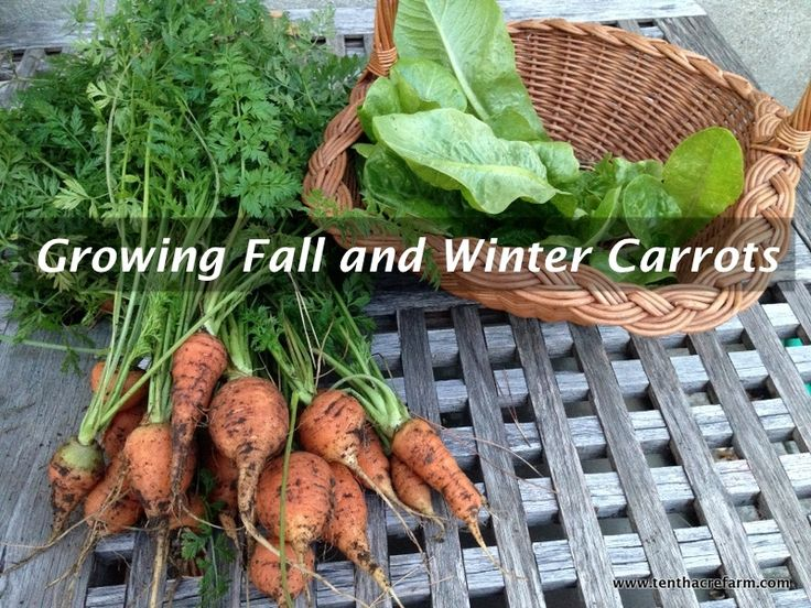 Winsome  Best Images About Fruit  Vegetable Gardening On Pinterest  With Magnificent Harvesting Carrots In The Fall And Winter After Other Harvests Have  Finished Makes Them An Gardening Vegetablesgardening  With Adorable Stk Covent Garden Also Indoor Herb Garden Ideas In Addition Garden Centre Business For Sale And Stoke Trentham Gardens As Well As Wowcher Garden Furniture Additionally Garden Wall Plaques From Pinterestcom With   Magnificent  Best Images About Fruit  Vegetable Gardening On Pinterest  With Adorable Harvesting Carrots In The Fall And Winter After Other Harvests Have  Finished Makes Them An Gardening Vegetablesgardening  And Winsome Stk Covent Garden Also Indoor Herb Garden Ideas In Addition Garden Centre Business For Sale From Pinterestcom