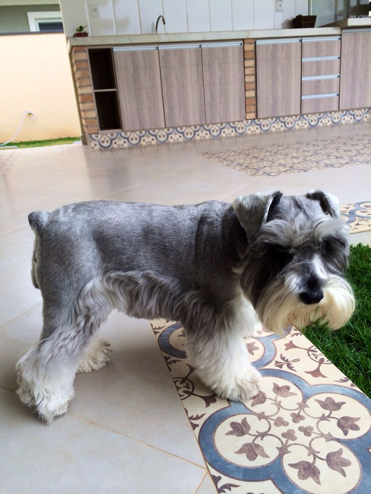 Amy Mini Schnauzer Amy Mini Schnauzer Pinterest