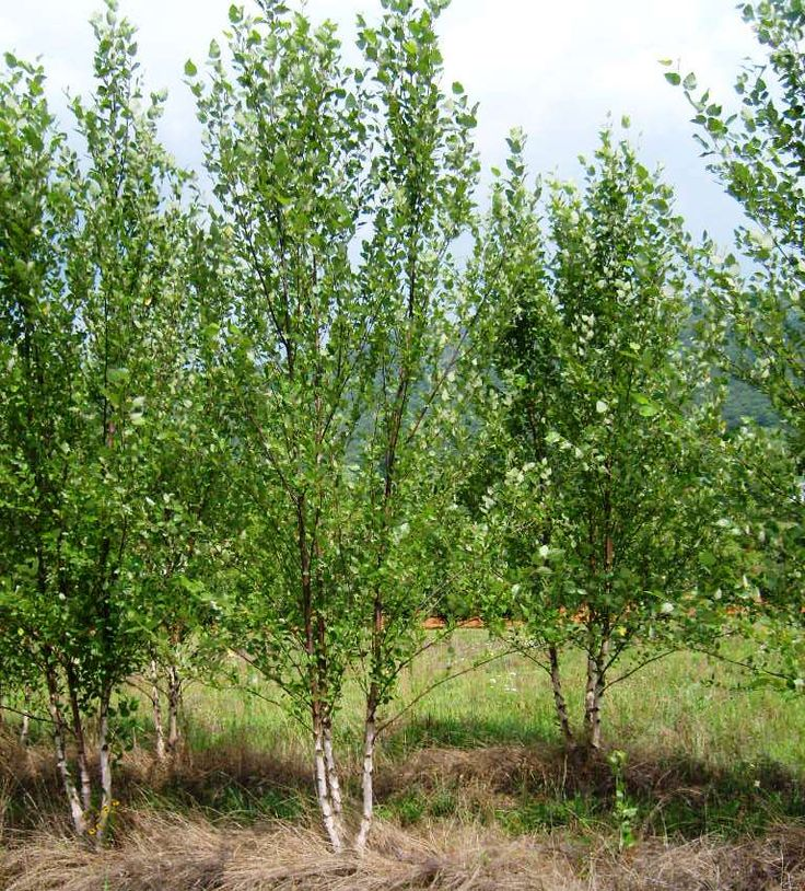 Small Ornamental Trees Nc: 25 Best Clay Soil Images On Pinterest