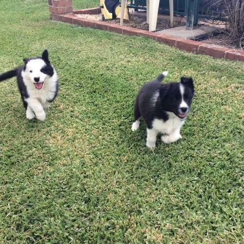 Border Collie X Cattle Dog Puppies For Sale Nsw