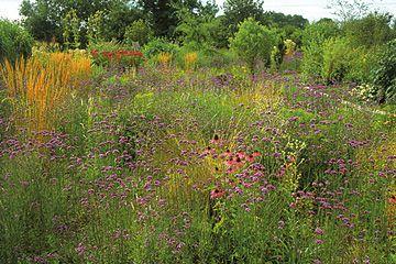 Et »vildt« bed af verbena, Verbena bonariensis, græsser og solhat, Echinacea, i en have
