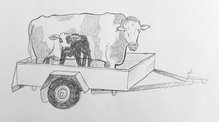 Cows in Trailer