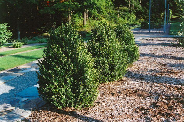 Best 20 Green Mountain Boxwood Ideas On Pinterest Green Velvet Boxwood Boxwood Plant And