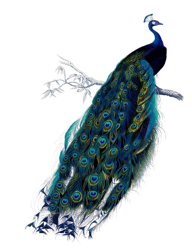 Graphics Fairy printable peacock - for bedroomPeacocks Prints, Colors, Nature History, Birds, Free Printables, Peacocks Art, Vintage Clips Art, Graphics Fairies, Vintage Image