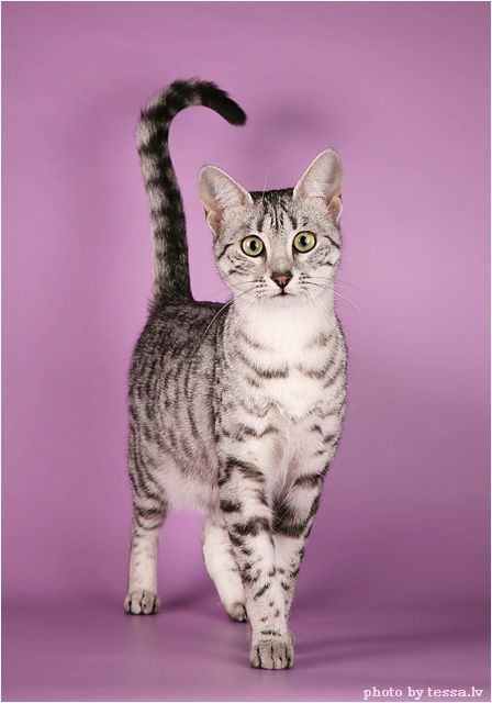 Egyptian mau cat  they walk with their tail straight up in the air...cute :)