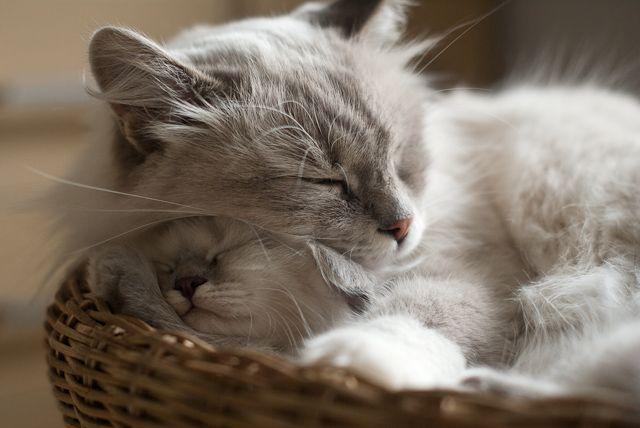 NAJWAŻNIEJSZE JEST PRZYTULANIE » Dzika Bestia | Mała Domowa Hodowla Kotów Syberyjskich Neva Masquerade