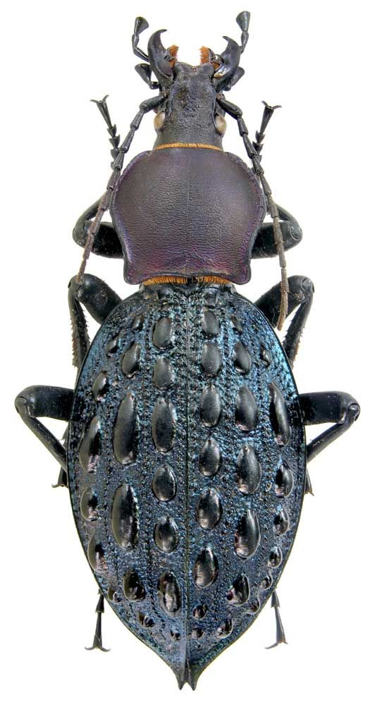 Carabus pustulifer