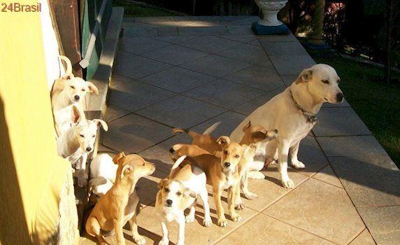 Cachorrinhos mix de labrador buscam um lar em SP