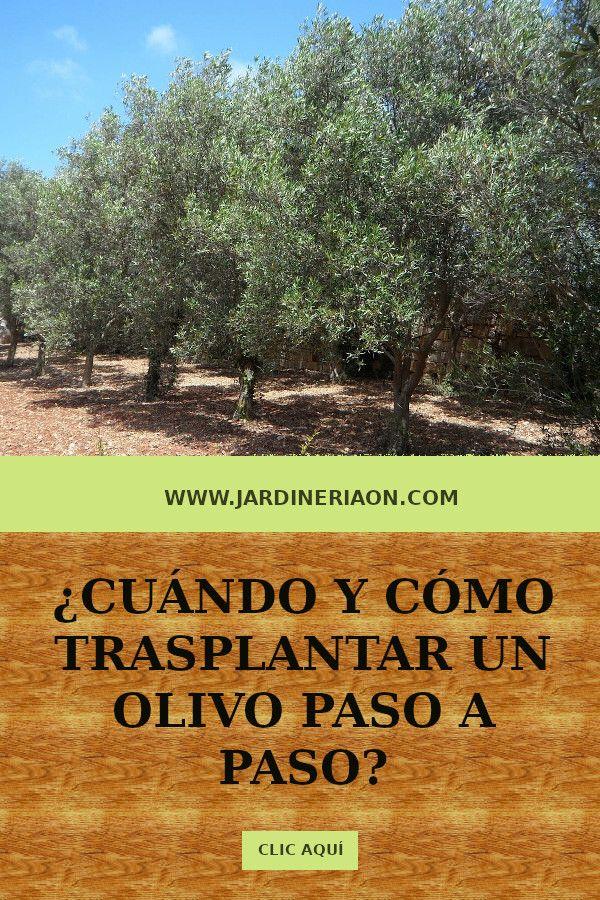 Cuándo Trasplantar Un Olivo Olivo Bosque Comestible Arboles Frutales