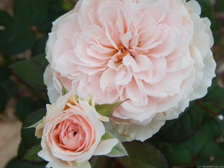 'Tranquility ' Rose Photo